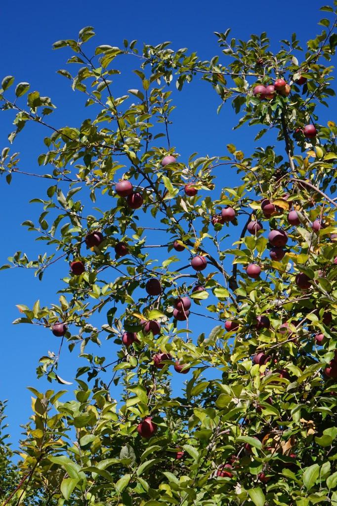Fall Apple Picking - Hudson Valley