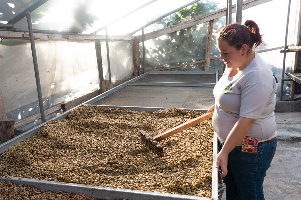 Guide stirring the drying coffee bean in the greenhouse