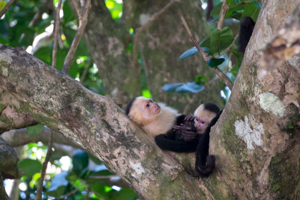 Monkeys resting in tree, Manuel Antonio National Park, Costa Rica