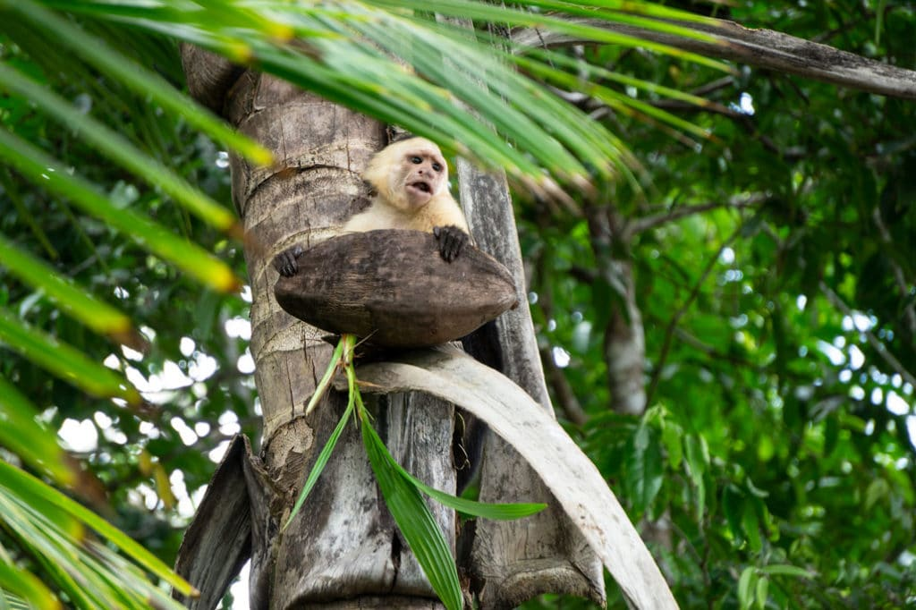 Monkey hauling a coconut