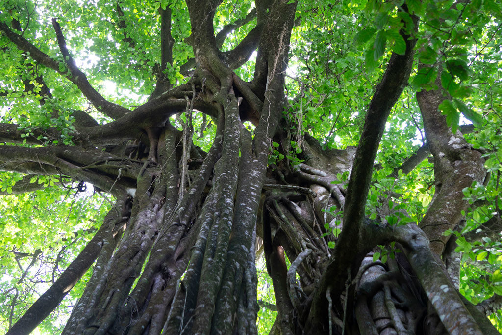 huge ficus tree